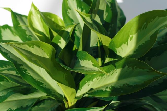 Alpha Botanical Aglaonema Plant Care Profile