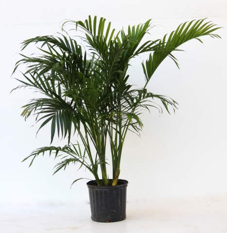 Alpha Botanical - Cat Palm Plant Care Profile
