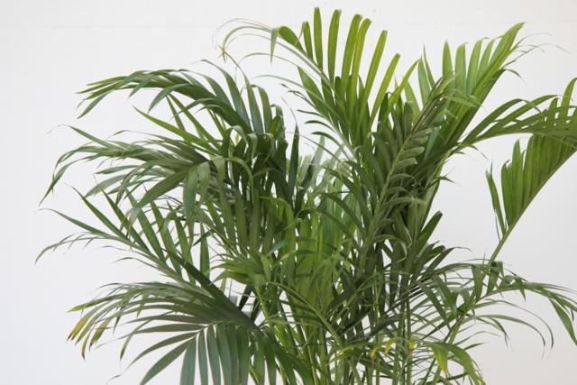 Dracaena exterieur great yucca dracaena draco plantes for Ponytail palm cats