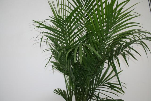 ravenea plant care with Majesty Palm on Ravenea as well Knit Baby Blanket Squares Pattern moreover 119978777545385096 together with Majesty palm moreover House Plant Identifier Uk.