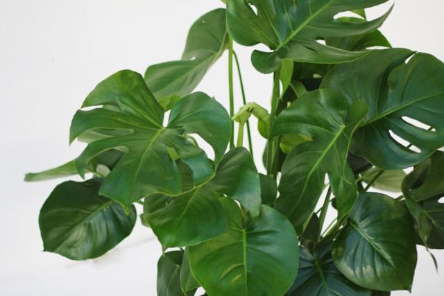 alpha botanical monstera plant care profile. Black Bedroom Furniture Sets. Home Design Ideas