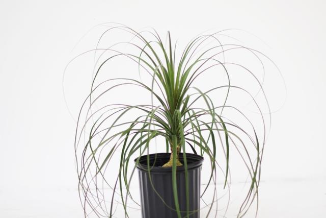 Ponytail Palm ...