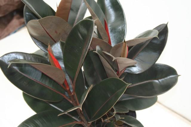 alpha botanical rubber tree plant care profile. Black Bedroom Furniture Sets. Home Design Ideas