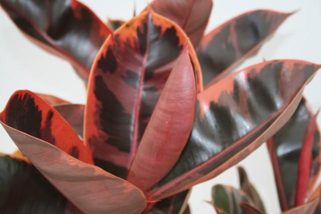 Alpha Botanical Rubber Tree Plant Care Profile