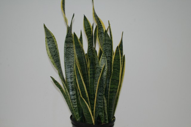 alpha botanical sansevieria plant care profile. Black Bedroom Furniture Sets. Home Design Ideas