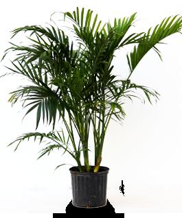 Cat Palm  sc 1 st  Alpha Botanical & Alpha Botanical - Cat Palm Plant Care Profile azcodes.com