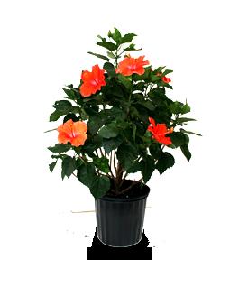 Alpha Botanical - Hibiscus Plant Care Profile