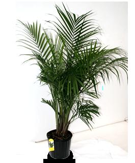 majesty_palm Majesty Palm House Plant on majesty palm soil, majesty palm plant, majesty palm hedge, majesty palm fertilizer, majesty palm tree, majesty palm leaves, majesty palm flower, majesty palm family, majesty palm indoor,