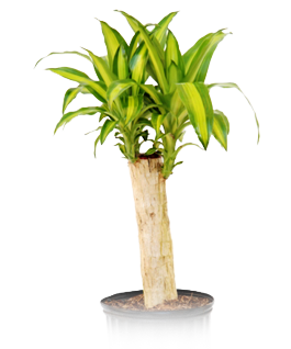 Alpha Botanical - M Cane Plant Care Profile on house plant support, house plant diagnosis, house plant lighting, house plant safety, house plant maintenance, house plant room, house plant marketing, house plant construction, house plant texture, house plant people, house plant design, house plant scale, house plant search, house plant identification, house plant benefits,
